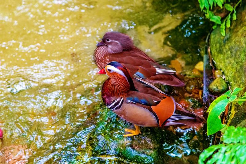 Mr and Mrs Mandarin Duck