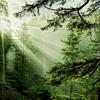 Morning Rays Through an Oregon Rain Forest