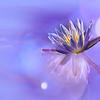 Waterlily Bokeh