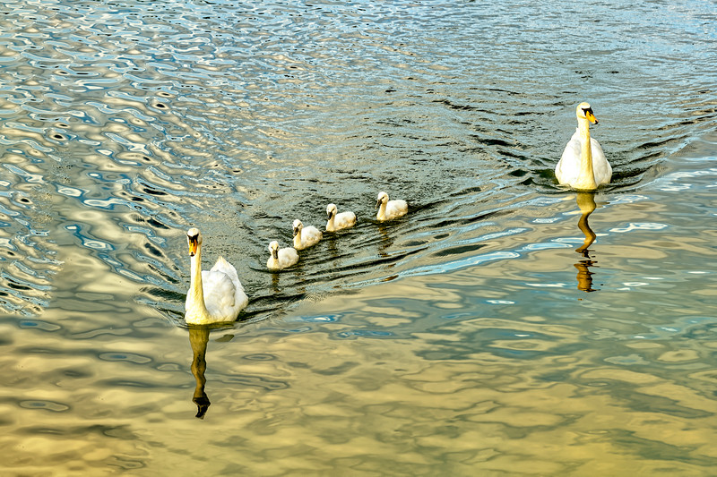 Swans On the Rhone River