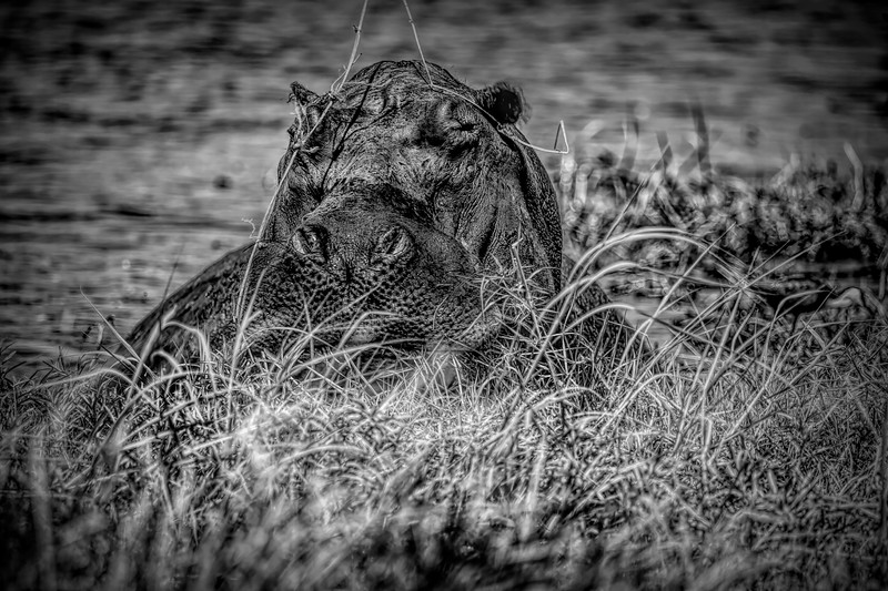 The Hippo in Infrared Black and White