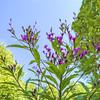 Purple Wildflower Cezanne