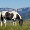 Black and White Horse Grazing in Wyoming