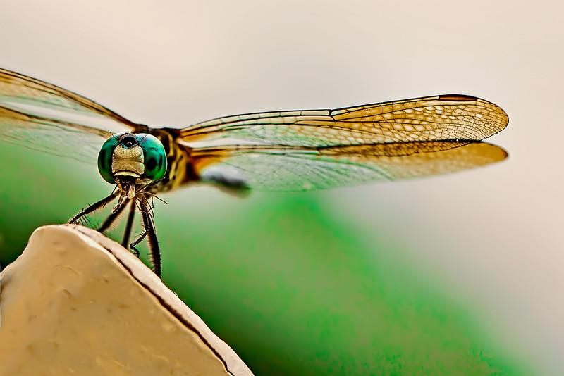 Dinnertime for the Dragonfly