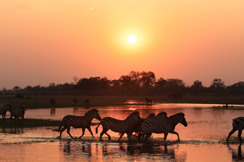 Zebra Sunset 1