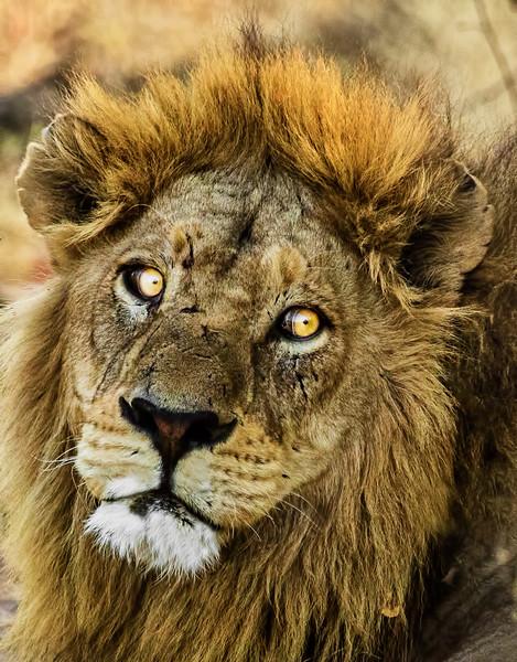 A Lion Headshot