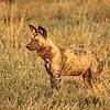 Wild Dog of Botswana