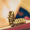 Dancing Black Swallowtail Butterfly Caterpillar