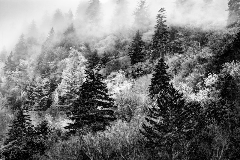 Verdant Forest In The Great Smoky Mountains in Black and White