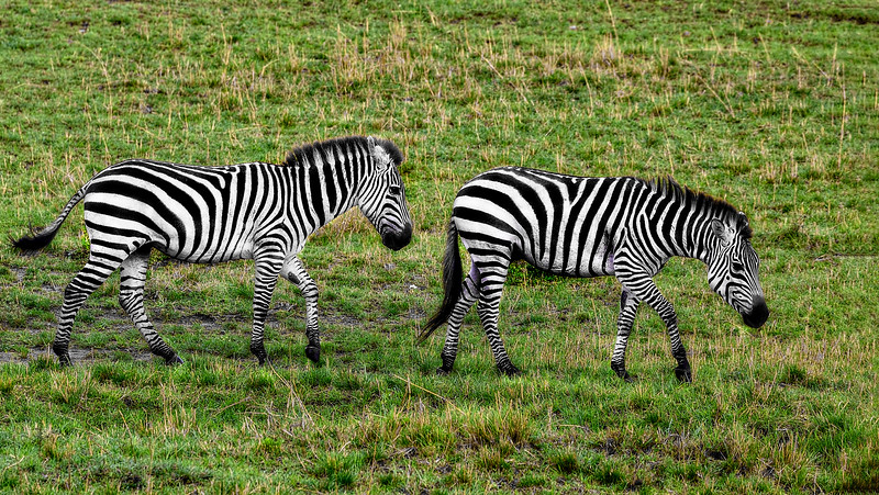 A Pair of Zebras