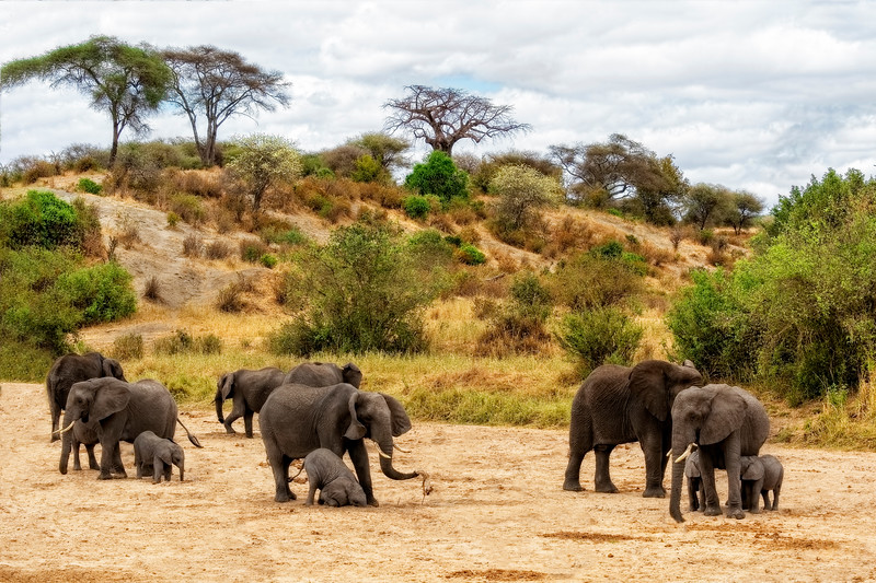 Elephants Drill for Water