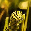 Black Swallowtail Butterfly Caterpillar At Dinner