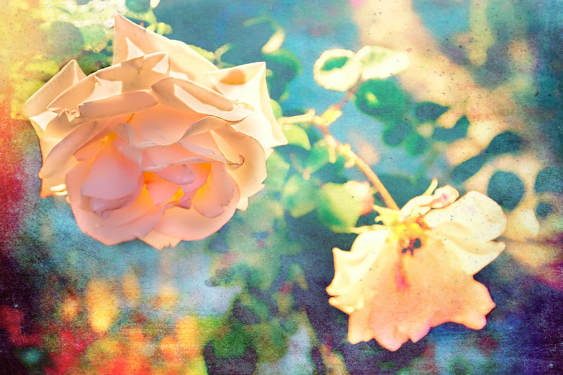 Rose Aglow With Summer Sun