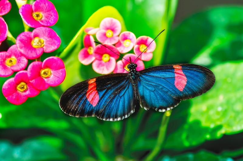 Erato Longwing Butterfly