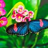 Blue Longwing Butterfly