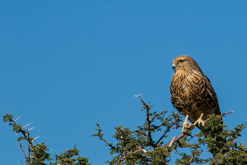 Greater Kestrel On Watch