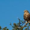 Greater Kestrel On Watch