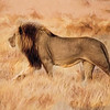 Black-Maned Lion of the Kalahari Impressions