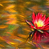 Red Water Lily Art