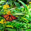 Monarch Butterfly Sipping Milkweed Nectar