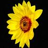Floating Sunflower