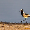 Black-Wing Lapwing