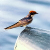 Wire-Tailed Swallow On Alert for Bugs