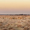 Black-Maned Lions of the Kalahari