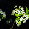 Pear Blossoms In the Dark