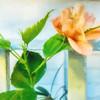 Cezanne Hibiscus