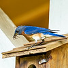 Daddy Blue Bird