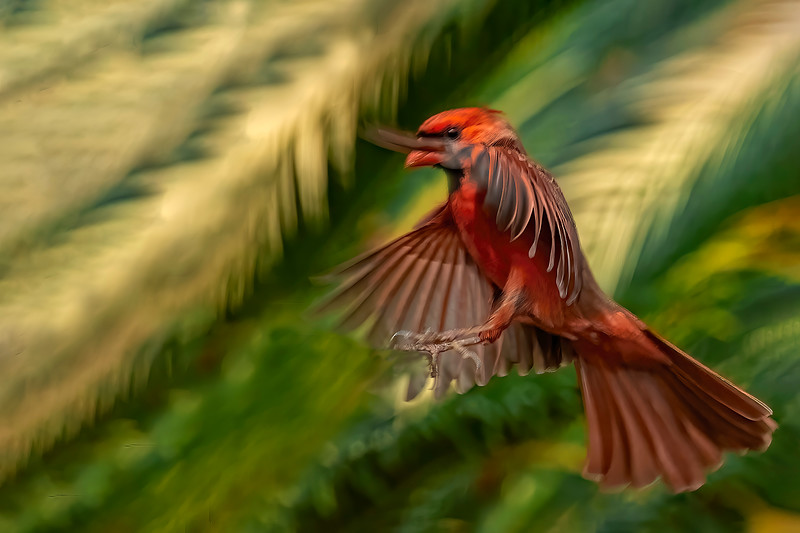 The Male Cardinal Approaches