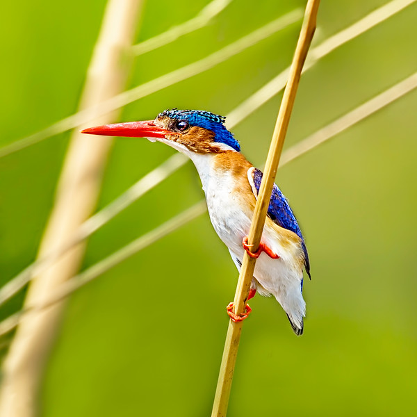 A Square Malachite Kingfisher