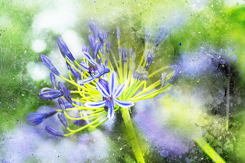 Agapanthus Perfection