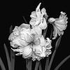 Amaryllis in Black and White