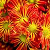 Artsy Chrysanthemum 5
