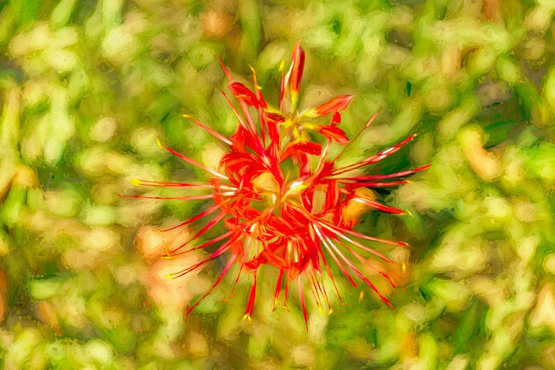 Spider Lily Pop