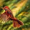 The Artsy Male Cardinal Approaches