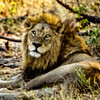 A Lion is Wounded in Botswana