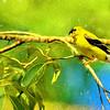American Goldfinch Digital Art