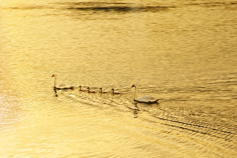 Swan Family Into the Sunset