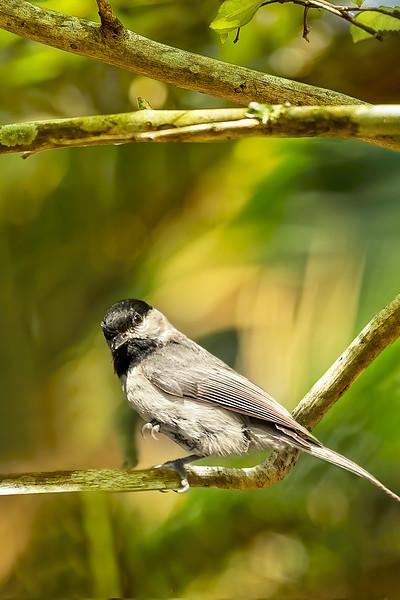 Black-capped Chicadee