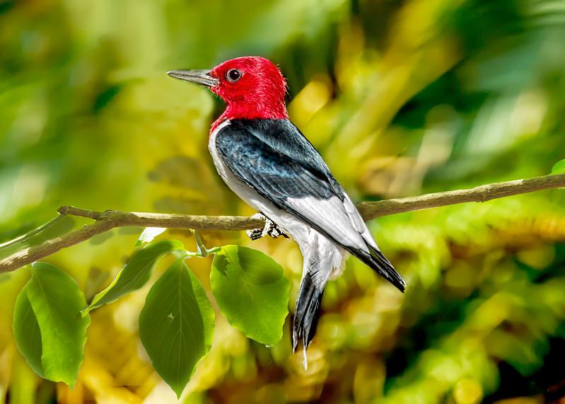 Red-Headed Woodpecker 1
