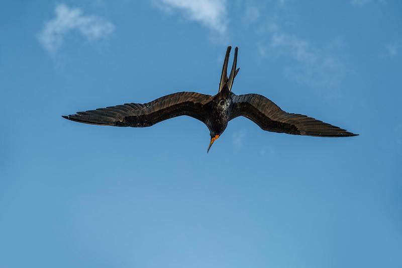 The Male Magnificent Frigate Bird