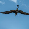 The Male Magnificent Frigate Bird
