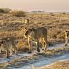 Black Maned Lions of the Kalahari