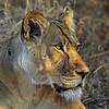 Intense Lioness in Botswana