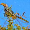 Yellow-Billed Hornbill Beauty
