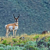 An Antelope in Wyoming