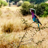 A Lilac Breasted Roller Sings